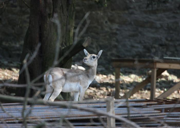 Antilope cervicapre – Pairi Daiza