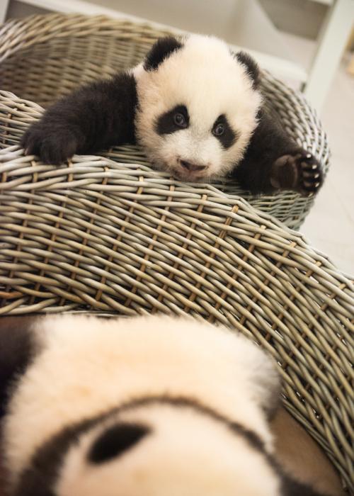 Photo des bébés/petits pandas géants de Pairi Daiza, Bao Di et Bao Mei