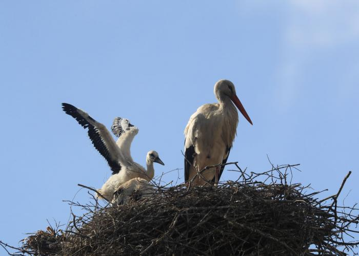 Cigogne blanche – Pairi Daiza