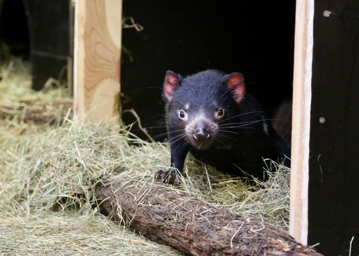 Diable de Tasmanie – Pairi Daiza