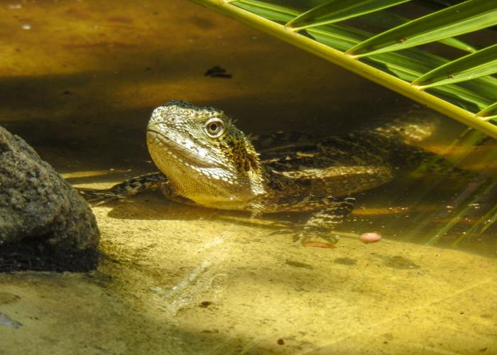 Dragon d'eau d'Australie – Pairi Daiza