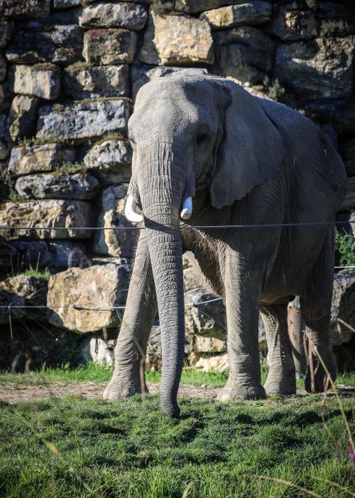 Eléphant d'Afrique - Pairi Daiza