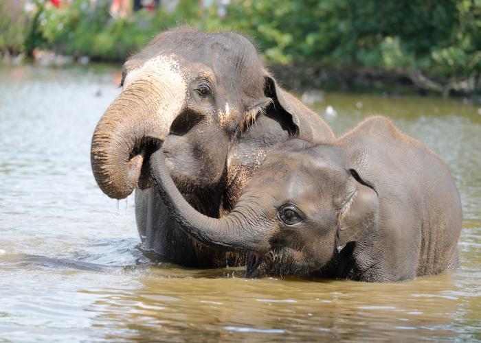 Elephant d'Asie - Pairi Daiza