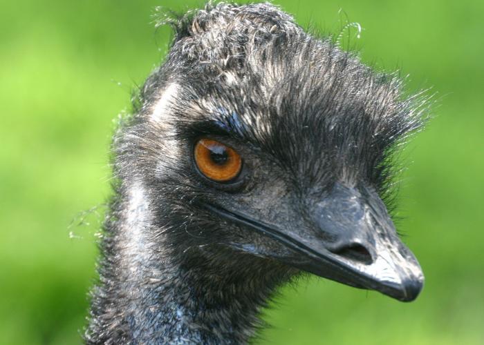Emeu d'Australie  – Pairi Daiza