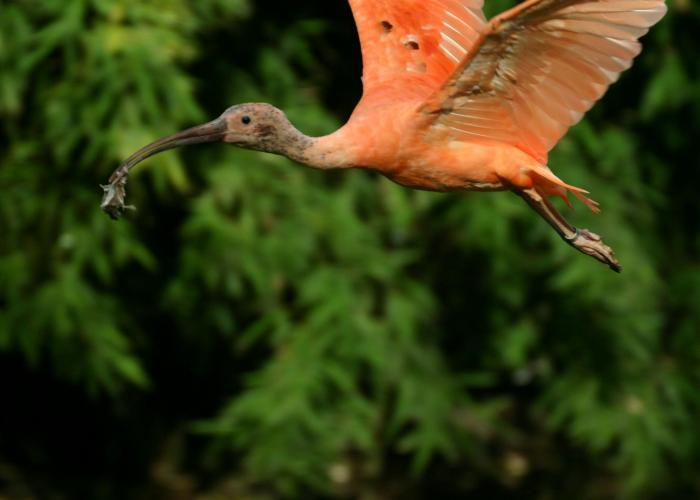 Ibis rouge - Pairi Daiza
