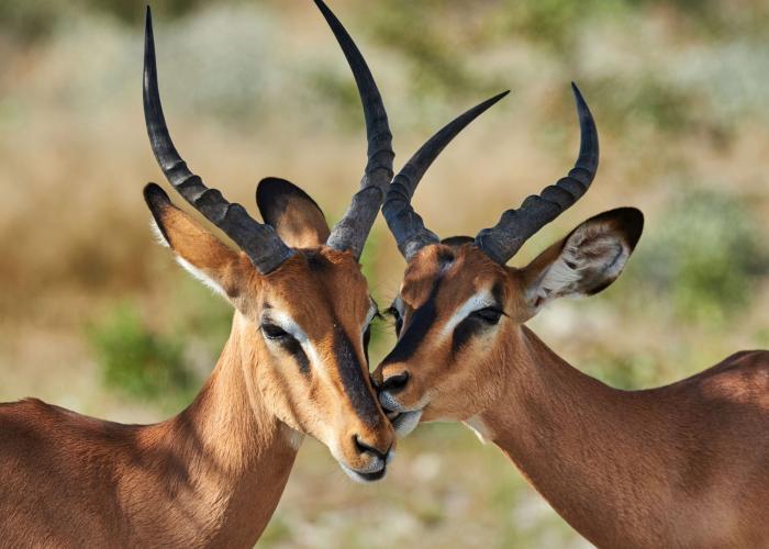 Impala - Pairi Daiza
