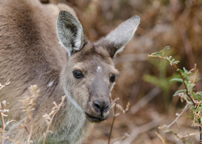 Kangourou gris – Pairi Daiza
