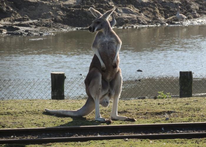 Kangourou roux - Pairi Daiza