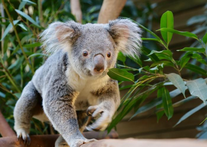 Le Koala - Lone Pine Koala Sanctuary