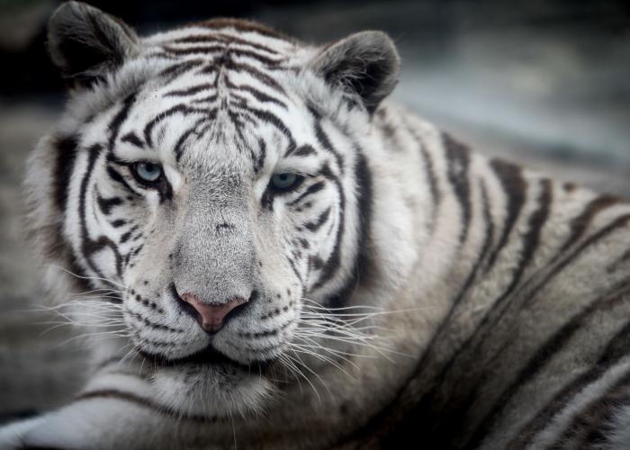 Le Tigre blanc royal - Pairi Daiza