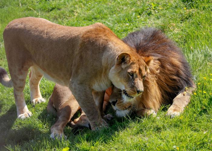 Lion d'Afrique – Pairi Daiza