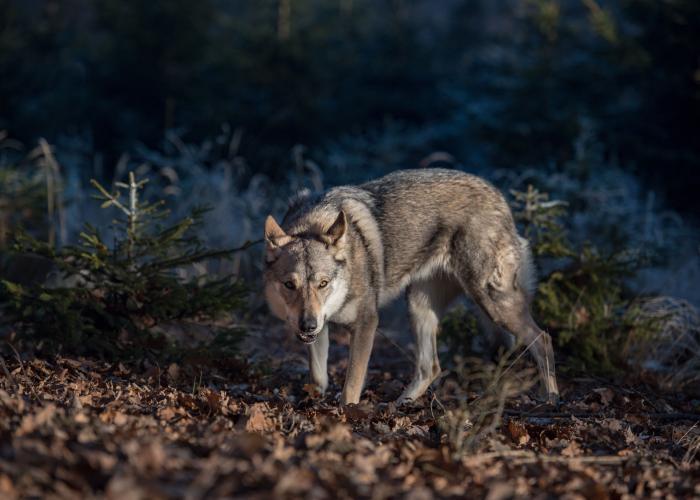 Loup gris - Pairi Daiza