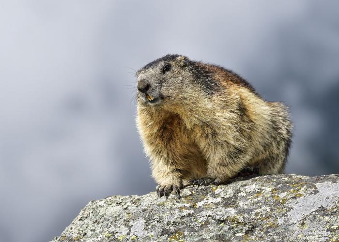 Marmotte des Alpes - Pairi Daiza