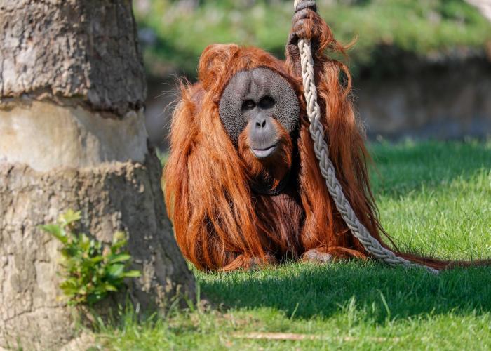 Orang-outan de Sumatra - Pairi Daiza