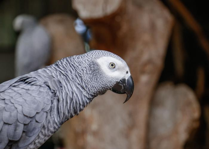 Perroquet jaco – Pairi Daiza