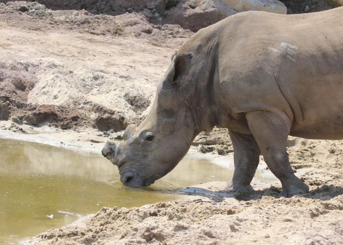 Rhinocéros blanc – Pairi Daiza