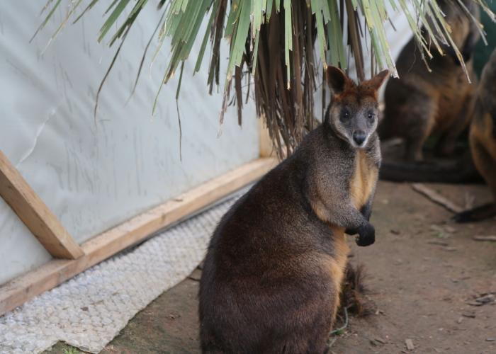 Wallaby bicolore _ Pairi Daiza