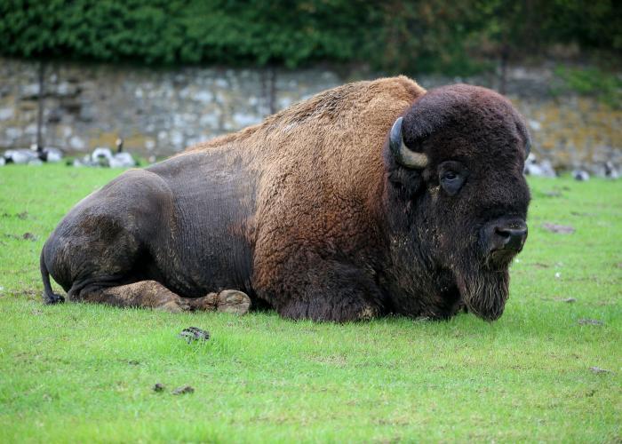 Bison d'Amérique - Pairi Daiza