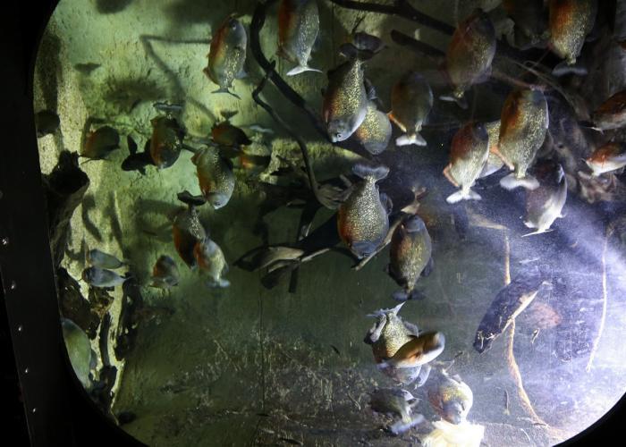 Cabinet du Docteur Yu - piranhas