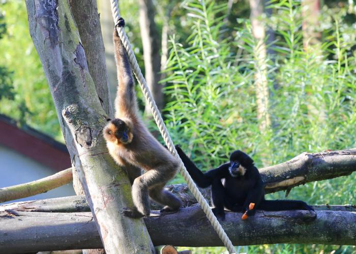 Gibbon à Joues Jaunes - Pairi Daiza