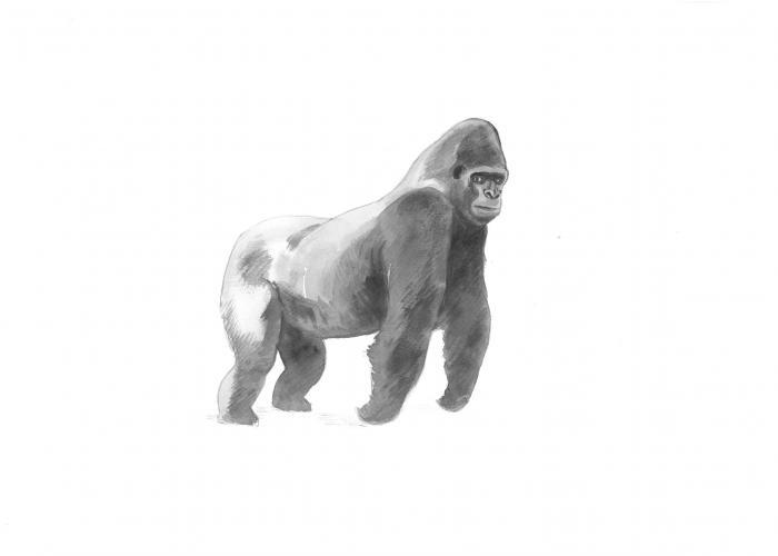 Les Gorilles des plaines de l'Ouest – Pairi Daiza