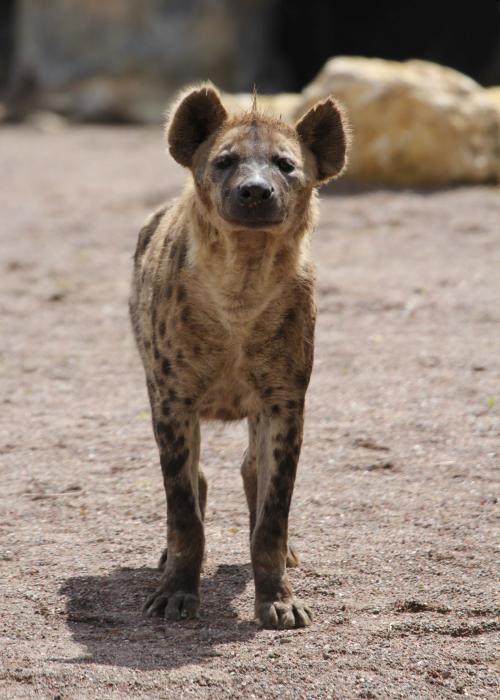Hyène tachetée – Pairi Daiza