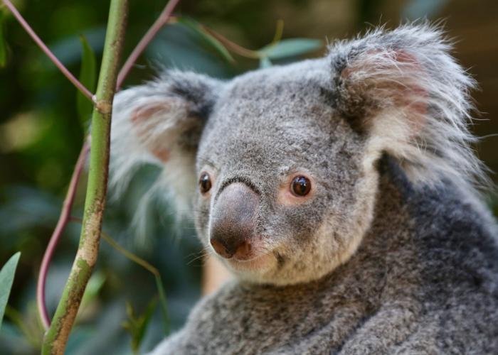 Le Koala - Le marsupial capable de dormir 20 heures par jour