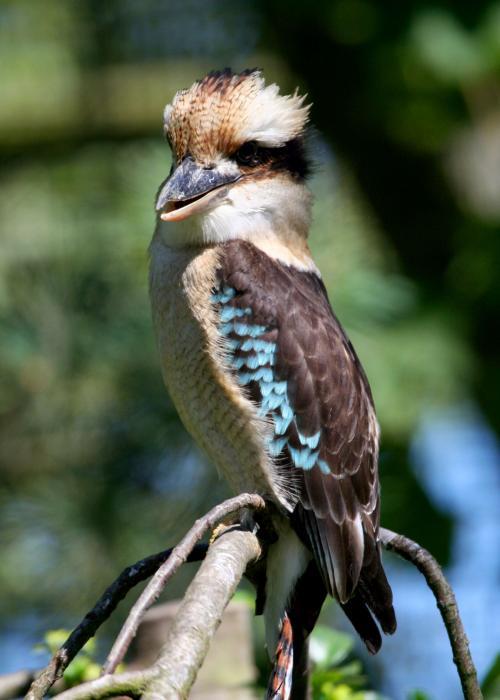 Martin-chasseur à ailes bleues – Pairi Daiza