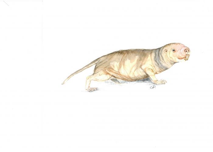 Rat-taupe nu – Pairi Daiza