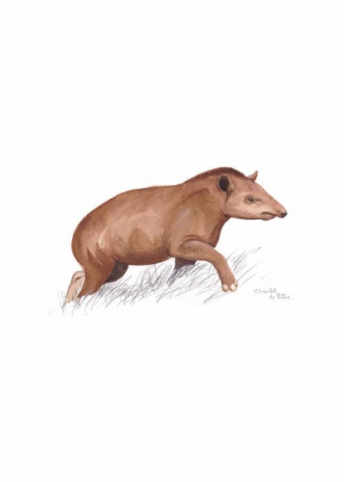Tapir d'Amérique du Sud - Pairi Daiza