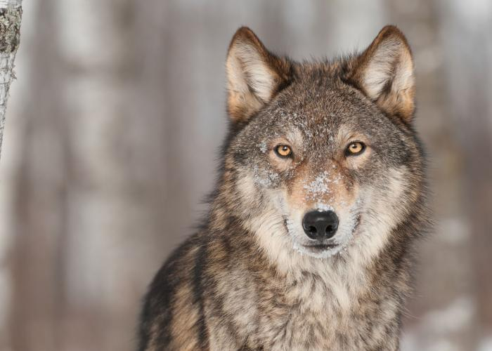 Le Loup gris | Pairi Daiza