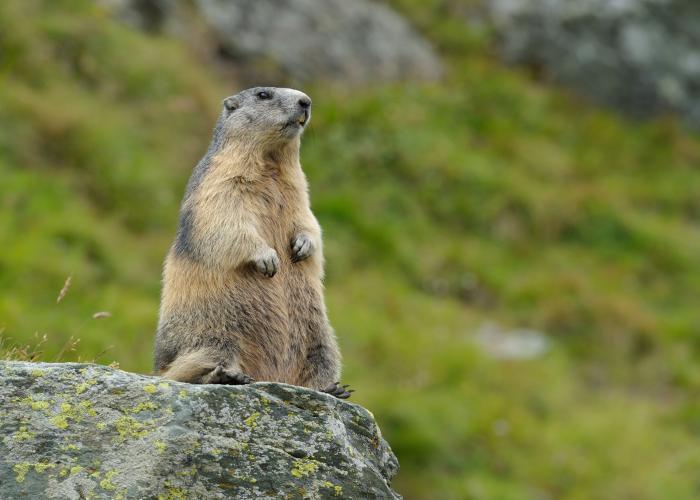 """Résultat de recherche d'images pour """"la marmotte"""""""