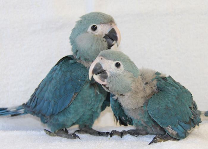Spix's Macaw | Pairi Daiza